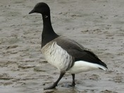 Pale-bellied Brent Goose (hrota)