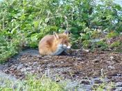 Sunbathing Fox