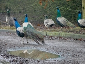 Colourful Peacocks brighten up a dull afternoon.