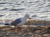 Gulls at Wells