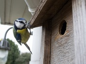 Blue tits looking for a summer home