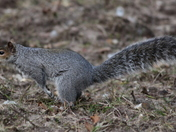 Grey squirrel on the move 2