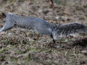 Grey squirrel on the move 3
