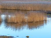Reed Beds At Blakeney