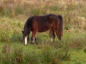 Pony On Meadow