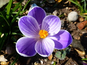 Something New. Crocus