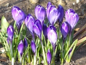 Something New, New Season Crocus