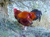 Frosty Morning For Chickens