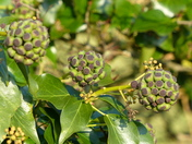Ivy Seed Heads