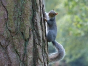 Squirrel Running Up A Tree