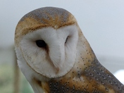 A Well Cared For Barn Owl