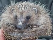 A very Happy Hedgehog