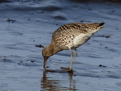 curlew after food