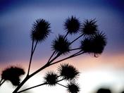Sunset thistles