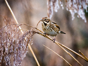 Reed Bunting, female