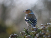 A chaffinch at RSPB Minsmere