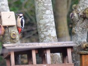 Beautiful Woodpecker came to visit our Garden