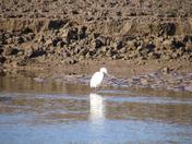 Nervous Egret