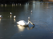 Swan in a Frozen lake