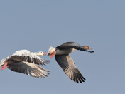 Grey Lag Geese in Flight over Strumpshaw Fen.