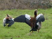 Egyptian geese spread their wings