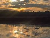 Swans At Sunset Martlesham Creek