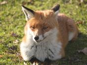 Mr Fox sunning himself