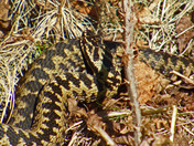 Adders about!