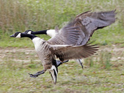 Movement - neck and neck for a pair of Canadian Geese