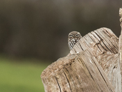 Little Owl.