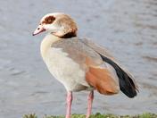 Windy Goose