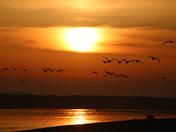Movement : Geese Flying into the sun