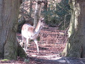 Fallow Deer----movement
