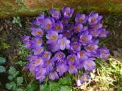 Crocus open their petals in the mid day sun.