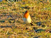 stonechat and robin cley marsh