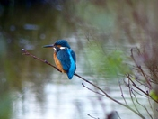 The Bright Colours Of A Kingfisher