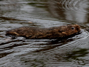 Water vole on the move 2