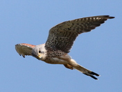 Static movement of a hovering Kestral A
