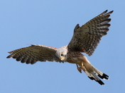 Static movement of a hovering Kestral  2