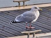 herring gulls wells harbour