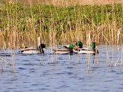 mallard cley marsh