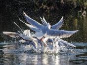 Gull Frenzy. Movement