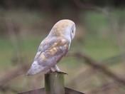 The Beautiful Barn Owl