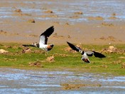 lapwing and egret cley marsh