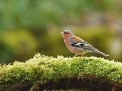 Chaffinch in woodland