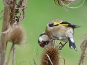 Goldfinch hangs on to teasels during strong winds.