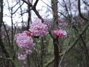 Viburnum brightening a February Day