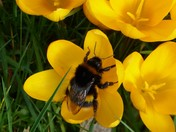 An Early Bumblebee on a sunny February morning