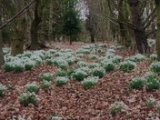 Snow drops in the Three gates wood Aldeby