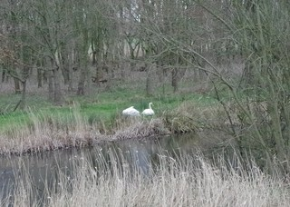 Swans sheltering on the Marches